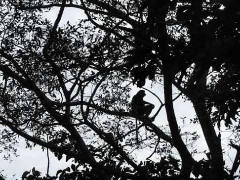 proboscis-monkey-1884944_960_720