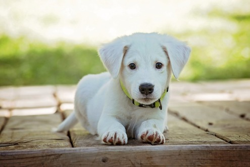 puppy-1903313_960_720